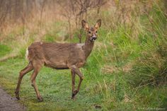 Roe Deer by Michael Wahlgren on 500px
