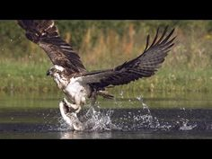 Narrated by Ewan McGregor. More from Highlands - Scotland's Wild Heart at bbc.co.uk/highlands ---- Every detail is revealed in this footage filmed at 800 fra...