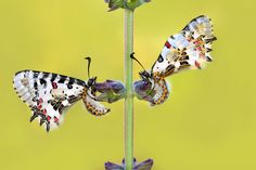 Twin butterflys