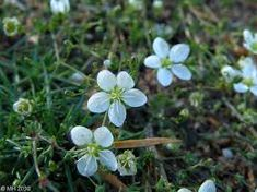 Nyylähaarikko - Knutarv - Knotted pearlwort Knots, Plants, Plant, Buttons, Planets