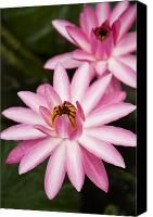 Pink Lotus Blossoms Photograph by Dana Edmunds - Printscapes - Pink Lotus Blossoms Fine Art Prints and Posters for Sale