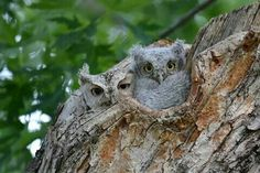 "Eastern screech owl mom and baby/ Facebook ""owlpage"""