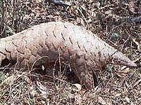 Pangolin - Warthog Lodge Animal Species, Nature Reserve, South Africa, Lion Sculpture, Wildlife, Animals, Animales, Animaux, Animal