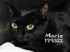 Meet MARIE, a Petfinder adoptable Domestic Short Hair Cat | Conroe, TX | Petfinder.com is the world's largest database of adoptable pets and pet care information....
