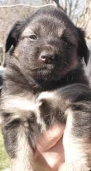 Camille is an adopted German Shepherd Dog Dog in New York, NY. Camille is a gorgeous Shepherd mix puppy who has been in rescue since she was a few weeks old. She came with siblings