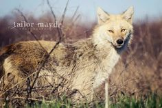 Nature, wolf, coyote  https://www.facebook.com/tailormaydephotography