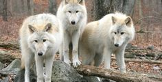 Hoe wolven rivieren kunnen veranderen