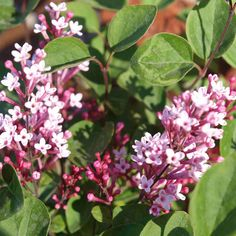 Lilac Plant - Tinkerbelle - Suttons Seeds and Plants