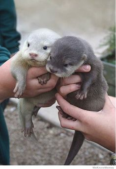 Baby otters!!!    I want otters.  I will build them an awesome habitat with water slides and all kinds of shiny play things (I always give them 50cent pieces at the zoo - they love it!).  And I will love them and sing them songs and play fetch with them, and on occasion, put my chihuahua in to swim with them.