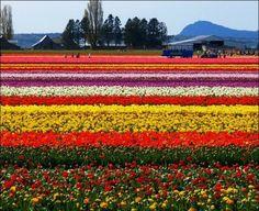 hermosos tulipanes.