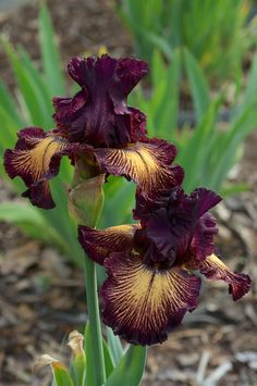 "'Drama Queen'-- TB iris, early to midseason bloom, 38"", dark rich cyclamen-purple standards with buff falls veined and edged with same, Dykes Medal 2011"