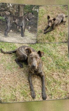 Sarge is a Plott Hound Mix approximately 12 months old, neutered, and utd on shots. He loves to run and play. Does well with other dogs but would be best with playmate closer to his size (50lbs). House/crate trained. Great with kids. Very sweet and...