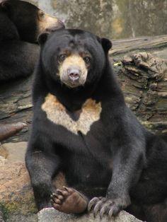 Sun bear. Each individual has a unique chest pattern.
