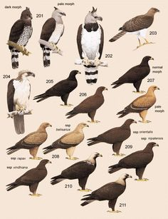 "Plate 20 of Volume 2 of ""The Handbook of Birds of the World"" - 201. Guiana Crested Eagle (Morphnus guianensis)   202. Harpy Eagle (Harpia harpyja)   203. New Guinea Eagle (Harpyopsis novaeguineae)   204. Great Philippine Eagle (Pithecophaga jefferyi)   205. Indian Black Eagle (Ictinaetus malayensis)"