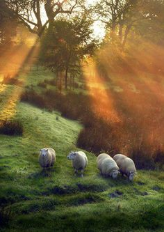 Beautiful Amber Sunbeams above Sheep in a Grassy Knoll - Scotland
