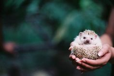 who doesn't want a hedgehog?