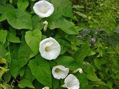 Calystegia sepium - Vilucchio bianco, Campanelle, Convolvolo delle siepi, Hedge Bindweed