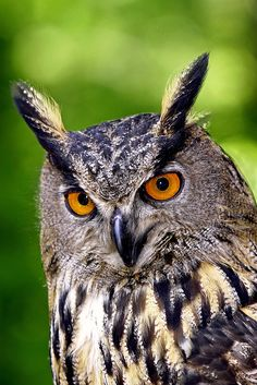 Whooooo Me?  ...!'m a Beautiful Eagle Owl