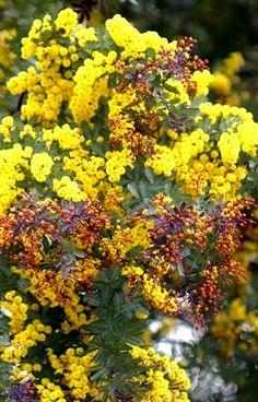 他の写真1: 赤芽 ミモザアカシア・プルプレア 7号土中ポット