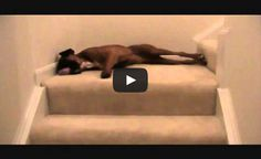 This dog's morning routine is so silly! Watch how he goes down the stairs for a good laugh.