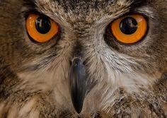 Eule - Eule, Uhu, Augen - Tiere | VIEW Fotocommunity