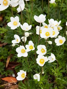 snowdrop windflower is easy to grow and spreads to form nice little drifts. it blooms for a second time in the cooler weather of early autumn.    name: anemone sylvestris    size: to 18 inches tall    zones: 4-8