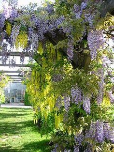 Kletterpflanzen, Rankpflanzen, Schlinger als Sichtschutz im Garten, beispielsweise Kletterrosen, Clematis, Blauregen (Wisteria), Wilder Wein (Parthenocissus) etc., Obst und Gemüsearten zum Klettern