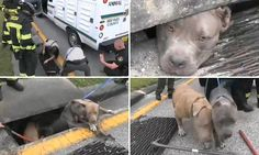 Three pitbulls rescued from a storm drain in Florida