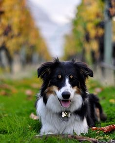 Gibbston Valley Winery dog Sheeba posing for a picture in the #vineyards.