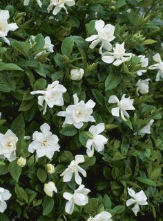 Shrubs-for-shade-areas --- Gardenia flowers Sun Plants, Cool Plants, Garden Plants, Full Shade Plants, Flower Plants, Tropical Flowers, White Flowers, Beautiful Flowers, Daisies
