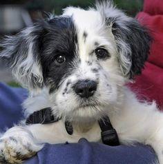 Dalmadoodle. Dalmatian poodle cross puppy