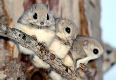 There are 44 known species of flying squirrel in the world. Flying squirrels don't actually 'fly' but glide in a controlled fall using a membrane of skin that stretches between limbs. Happy New Year from the Japanese Dwarf Flying Squirrel! Cute Baby Animals, Funny Animals, Animal Babies, Wild Animals, Japanese Dwarf Flying Squirrel, Animal Facts, Tier Fotos, Hamsters, Rodents