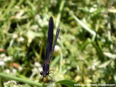 Black dragonfly.  Photo Laura Climent. Insect view near Ripoll River. Castellar del Vallés. Insects, Plants, Art, June, Flora, Kunst, Plant, Planting, Bugs