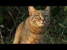 The African wildcat , also called Near Eastern wildcat is a wildcat species that lives in Northern Africa, the Near East and around the periphery of the Arab. Cool Pets, Animals And Pets, Wildlife, African, Puppies, Funny Images, Modern, Gatos, Pets