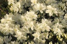 Rhododendron obtusum 'Kermesina Alba'
