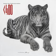 Sumatran Tiger - Charcoal on canvas  There are less than 400 Sumatran tigers remaining in the wild.