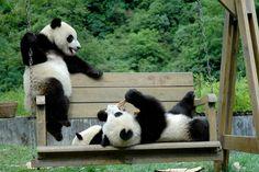 giant panda by giantpandaphotos, via Flickr