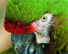 Macaw; Panama City, FL