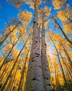 Aspen Trees along Maroon Creek, Elk Mountains, Colorado by James Kay Photography