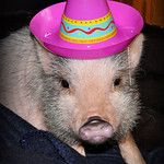 Do us speak Spanish cute piggy! Cute Piggies, How To Speak Spanish, Pigs, Pictures, Animals, Photos, Animales, Animaux, Photo Illustration