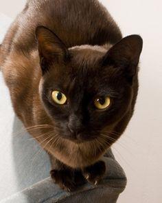Chocolate Brown Burmese Cat