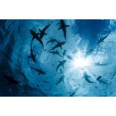 School of Grey reef sharks (Carcharhinus amblyrhynchos) at the surface of the water off the island of Yap Yap Micronesia Canvas Art - Dave Fleetham Design Pics (19 x 12)