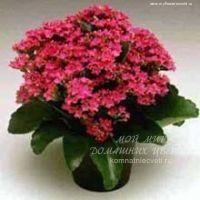 Полезные комнатные цветы фото