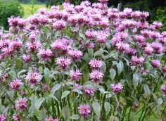 """Grow Bee Balm.  Attracts beneficial insects, bees love it. They even sleep under its leaves. It's edible, the leaves can flavor food & the flowers are a lovely addition to a salad. It is medicinal, according to this site, bee balm can help in the """"treatment of colds, … headaches, gastric disorders, reduce low fevers and soothe sore throat, relieve flatulence, nausea, menstrual pain, & insomnia."""" Wow."""