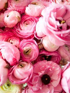 pink ranunculus in bloom My Flower, Fresh Flowers, Pretty In Pink, Pink Flowers, Beautiful Flowers, Pink Peonies, Ranunculus Flowers, Pink Petals, Pink Roses