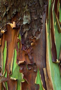 madrone bark, San Juan County, Washington by augen, via Flickr