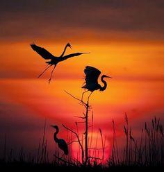 Red-crowned crane. Poem in general #sunrise