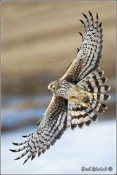 Harrier (female)