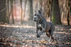 Cane Corso so beautiful Cane Corso Italian Mastiff, Cane Corso Mastiff, Cane Corso Dog, Cane Corso Puppies, Huge Dogs, I Love Dogs, Cane Corso Kennel, Guard Dog Breeds, Beautiful Dogs