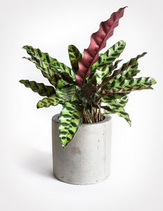 Calathea Lancifolia - Rattlesnake Plant -- an easy and beautiful houseplant for medium light and high humidity.
